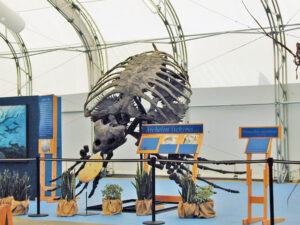 Dinosaur Jubilee Sea Turtle Skeleton